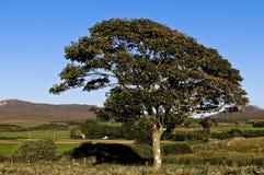 Árvore frondosa no campo Foto de Stock Royalty Free