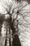 Árvore geada Imagens de Stock