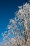 Árvore gelado Imagens de Stock Royalty Free