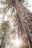 Árvore gigante Fotos de Stock