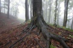 Árvore gigante com raizes grandes em uma floresta bonita encantado com névoa Fotos de Stock