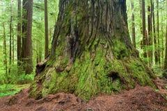 Árvore gigante da sequoia vermelha com inchamento da extremidade fotos de stock