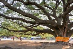 Árvore gigante da vagem de macaco imagem de stock