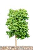 Árvore gigante isolada Imagem de Stock
