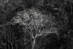 Árvore gigante majestosa da selva, fundo surpreendente da floresta Imagens de Stock Royalty Free