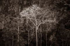 Árvore gigante majestosa da selva, fundo surpreendente da floresta Fotografia de Stock Royalty Free