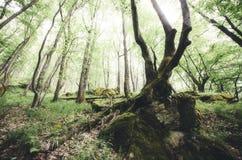 Árvore gigante velha com musgo verde Imagens de Stock
