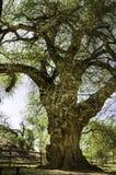 Árvore gnarled velha Imagens de Stock Royalty Free