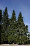 Árvore grande Fotografia de Stock Royalty Free