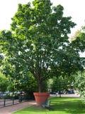 Árvore grande Fotos de Stock Royalty Free