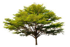 A árvore grande Fotos de Stock