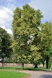 Árvore grande com banco Imagem de Stock Royalty Free