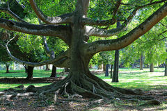 Árvore grande do ficus Imagens de Stock