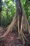 Árvore grande do ficus na selva Fotografia de Stock Royalty Free