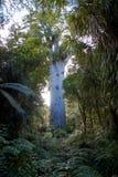 Árvore grande do kauri escondida nos arbustos Fotos de Stock Royalty Free