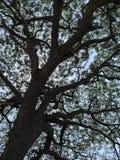 Árvore grande e céu azul Imagens de Stock Royalty Free