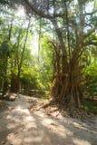 Árvore grande na luz da manhã Imagem de Stock Royalty Free