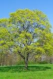 Árvore grande na mola foto de stock