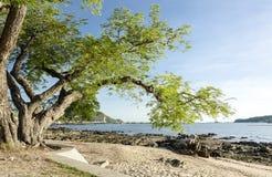 Árvore grande na praia Foto de Stock