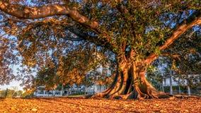 Árvore grande no parque com luz do por do sol foto de stock