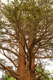 Árvore grande no parque de Inyo, Califórnia Fotos de Stock