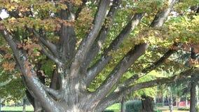 Árvore grande no parque no outono vídeos de arquivo