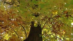 Árvore grande no parque no outono filme