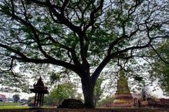 Árvore grande no templo antigo budista Fotos de Stock Royalty Free
