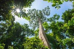 Árvore grande: Olhando acima a grande árvore que permanece no selvagem hoje Imagens de Stock
