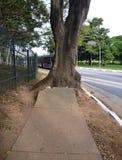 Árvore grande que cresce fora do passeio concreto danificado Fotografia de Stock
