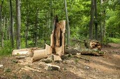 Árvore grande quebrada e podre Fotografia de Stock Royalty Free