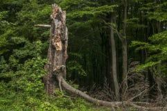 Árvore grande quebrada e podre Foto de Stock Royalty Free