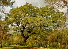 A árvore imensa aumenta sobretudo fotografia de stock