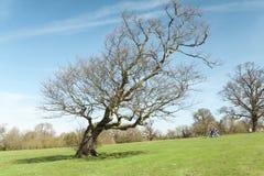 Árvore inclinado dobrada grande no prado verde largo imagem de stock