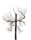 Árvore inoperante, árvore murcho isolada no fundo branco Fotos de Stock