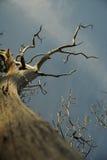 Árvore inoperante Fotografia de Stock