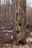 Árvore inoperante com cavidades da árvore fotos de stock royalty free