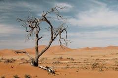 Árvore inoperante da acácia no deserto Imagem de Stock Royalty Free