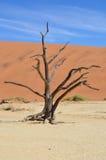 Árvore inoperante de Deadvlei Fotografia de Stock Royalty Free
