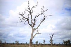 Árvore inoperante do deserto fotos de stock
