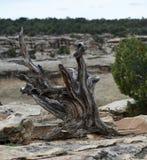 Árvore inoperante do zimbro comum fotografia de stock