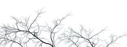Árvore inoperante e ramo isolados no fundo branco Ramos pretos do contexto da árvore Fundo da textura da natureza Ramo de árvore foto de stock