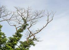 A árvore inoperante e sobrevive à árvore Fotografia de Stock Royalty Free