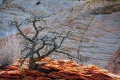 Árvore inoperante em Rocky Outcrop em Zion fotografia de stock royalty free
