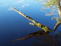 Árvore inoperante em um lago do pântano Imagem de Stock Royalty Free