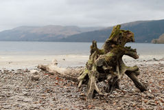 Árvore inoperante em uma costa Imagem de Stock Royalty Free