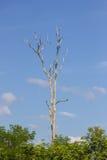 Árvore inoperante grande Fotografia de Stock Royalty Free