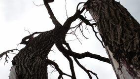 Árvore inoperante inoperante na floresta contra o céu Filiais torcidas Atmosfera Mystical Resultado do aquecimento do clima E filme