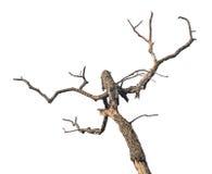 Árvore inoperante isolada foto de stock royalty free