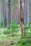 Árvore inoperante na floresta do pinho Imagens de Stock
